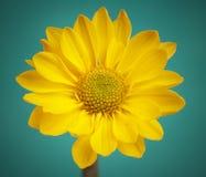 Retro- Blume mit Tropfen auf Aquamarinehintergrund. Stockfotografie