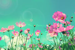 Retro cosmos flower fields background Royalty Free Stock Image
