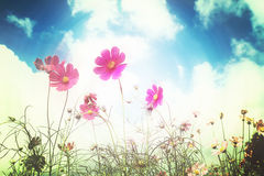 Free Retro Cosmos Flower Fields Background Stock Images - 60794594