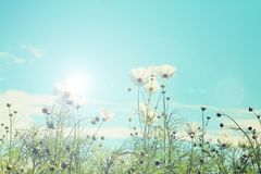 Free Retro Cosmos Flower Fields With Blue Sky Background. Stock Photography - 107362672