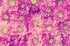 Retro Dahlia Flowers In Garden Arkivfoto