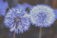 Free Retro Dandelions With Seeds Royalty Free Stock Images - 173393239