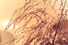 Retro de la hierba que se sacude por la tarde debajo del sol Fotografía de archivo libre de regalías