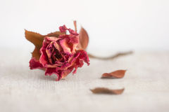 Retro dead red rose. Retro dead twig with flower - red rose Stock Photos
