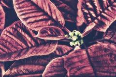 Retro Dichte Omhooggaand van een Poinsettiainstallatie Stock Foto's