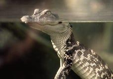 Retro dziecko aligator Zdjęcia Royalty Free