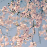 Retro Filter Cherry Blossom Royalty Free Stock Images