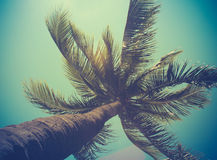 Retro Filtered Single Palm Tree. In Hawaii stock image
