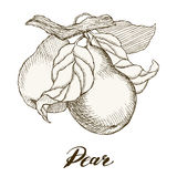 Retro fruit pear. Vector illustration of highly detailed hand drawn pears Stock Images
