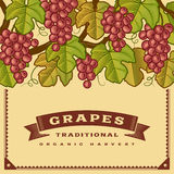 Retro grapes harvest card Royalty Free Stock Image