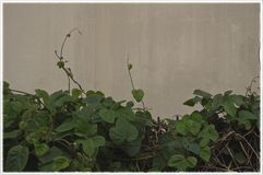 Old faded green vine tips atop a hedge. Retro green foliage overgrowth atop a wall and faded dingy yellow plaster plaster background.  modd atmoshpere ambience Royalty Free Stock Images