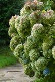 Retro green hydrangea on alley Royalty Free Stock Image