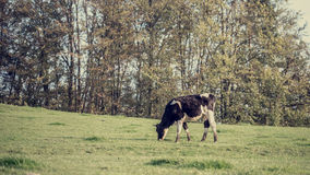 Retro Image of Black and White Dairy Cow Eating Grasses Stock Photos