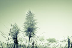 Retro image pampas grass, old faded effect Stock Images