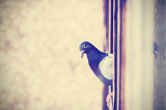 Retro instagram stylized photo of a pigeon on the window. Stock Photography