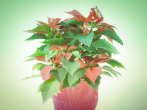 Retro kijk Poinsettia Stock Fotografie