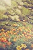 Retro kleur kijkt Franse goudsbloemen & x28; Tagetes patula& x29; bloem Stock Afbeelding