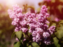 Retro lilac flowers Royalty Free Stock Image