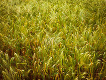 Retro look Barleycorn field Stock Images
