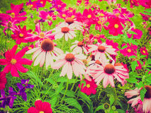 Retro look Daisy flower. Vintage looking Common daisy Bellis Perennis Plantae Angiosperms Eudicots Asterids Asterales Asteraceae Stock Photos