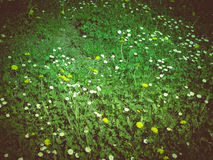 Retro look Daisy meadow Stock Photos