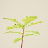 Retro look Oak tree. Vintage looking Oak tree Plantae Magnoliophyta Magnoliopsida Fagales Fagaceae Quercus - isolated over white background Stock Images