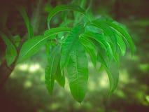 Retro look Peach tree leaf Royalty Free Stock Photo