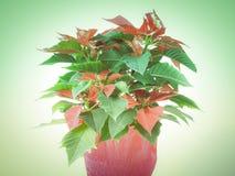 Retro look Poinsettia Stock Photography