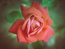 Retro look Rose Stock Images