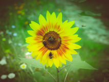 Retro look Sunflower flower Stock Images