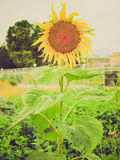 Retro look Sunflower flower Stock Photo