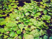 Retro look Water lily Nimphaea. Vintage looking Water lily Nimphaea in a pond Stock Image