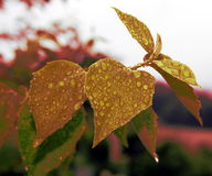Retro love heart leaf with droplets Royalty Free Stock Image