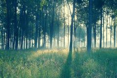 Retro mattina nel vecchio effetto della foto della foresta Immagini Stock