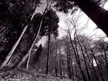 Retro monocromático da floresta do pinho Imagens de Stock