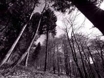 Retro monocromático del bosque del pino Imagenes de archivo