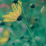 Retro Pastel Yellow Daisy Wildflowers Royalty Free Stock Photos