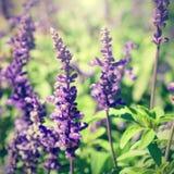 Retro photo of lavender flowers Stock Photo