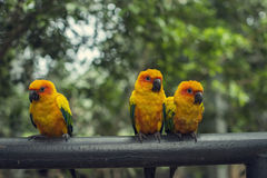 Retro pictrure beautiful parrot. Sun conure(Aratinga solstitialis stock images