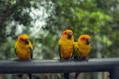 Retro pictrure beautiful parrot. Sun conure(Aratinga solstitialis royalty free stock photography