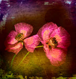 Retro picture of poppies Royalty Free Stock Photos