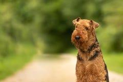 Retro- Portrait Airedale Terrier vor grünem Hintergrund lizenzfreie stockfotografie