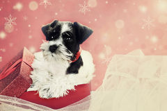 Retro Puppy in a Christmas Box. Retro image of a cute little black and white Mini Schnauzer puppy peeping out of a beautiful red festive Christmas present Royalty Free Stock Photography