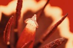Retro röda Tulip Inside Macro Arkivfoto