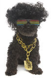 Retro Rainbow Sunglasses and Gold Chain On Poodle Royalty Free Stock Image