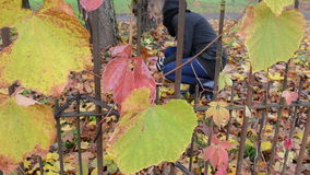 Retro rusty garden fence woman pick autumn tree leaves. Retro rusty garden fence and woman pick gather colorful autumn tree leaves over it stock footage