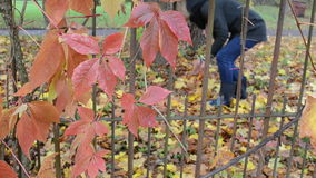 Retro rusty garden fence woman pick gather autumn tree leaves. Retro rusty garden fence and woman pick gather collect colorful autumn tree leaves over it stock video footage