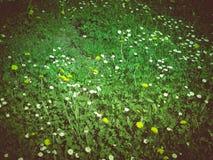 Retro spojrzenie stokrotki łąka Zdjęcia Stock