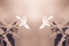Retro styl dwa kolorów żółtych Allamanda kwiat Zdjęcie Royalty Free