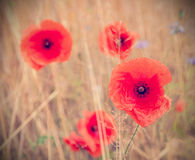 Retro style picture of poppy flowers, shallow depth of field Stock Photos